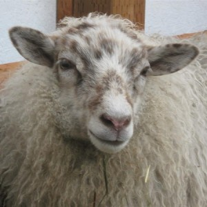 Felix, one of my white sheep