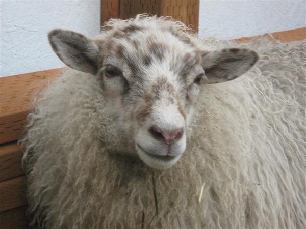 Felix, one of my white sheep