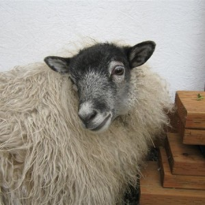 Frank, one of my white sheep