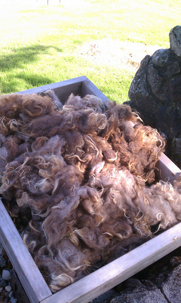 Edgar fleece, freshly washed and drying outside